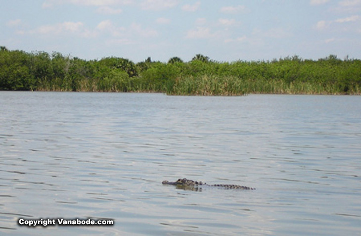 picture of alligator in pine island lake