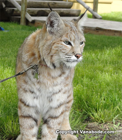 tame bobcat on leash picture