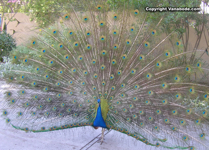 the arboretum peacock picture