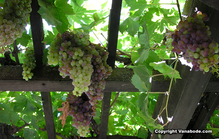 picture of california wine grapes