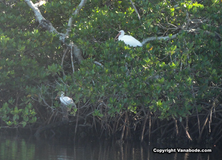 picture of american white ibis in mangroves in cape coral florida