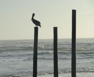 brown pelican in daytona beach picture