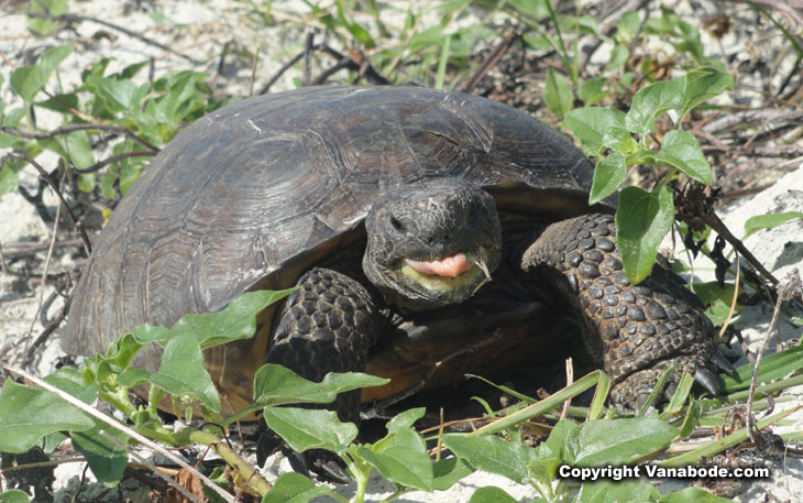 ponce inlet resident ground tortoise picture