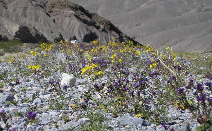 death valley wildflowers in bloom picture