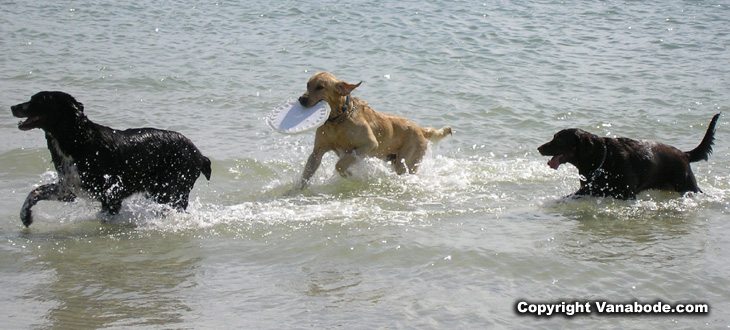 picture of dogs fetching frisbee
