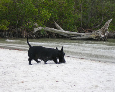 picture of terrior at dog beach near fort myers