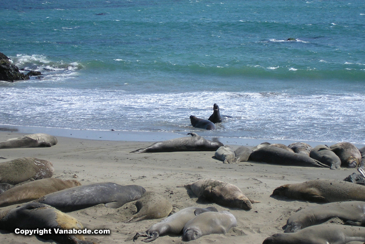 picture of elephant seals at san simeon near hearst castle