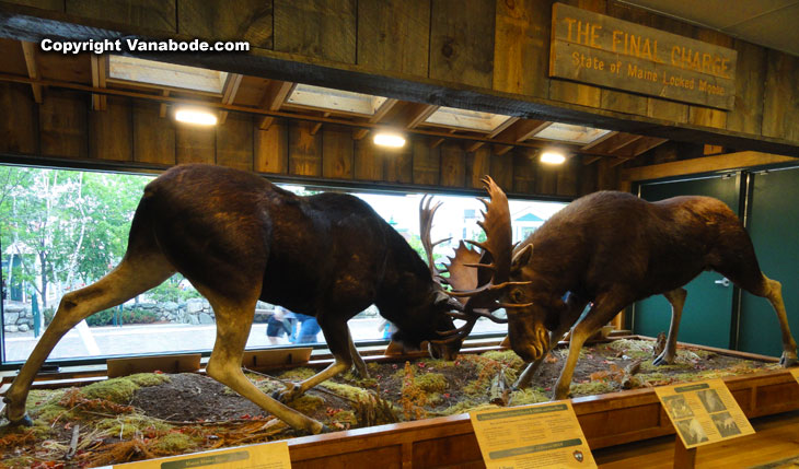 moose locked in maine at llbean store