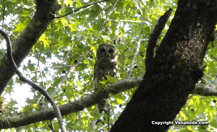 picture of a florida owl in the trees