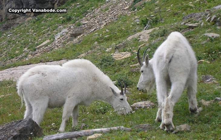 glacier mountain goat picture