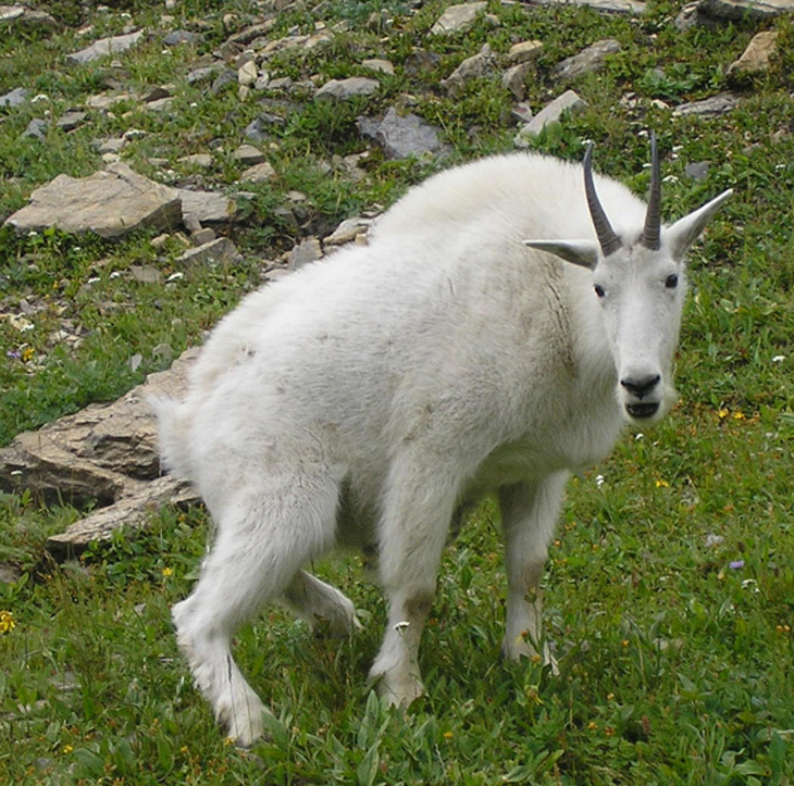 glacier national park mountain goat pee picture