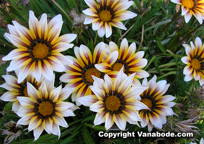 picture of stripped daisy at mendocino gardens