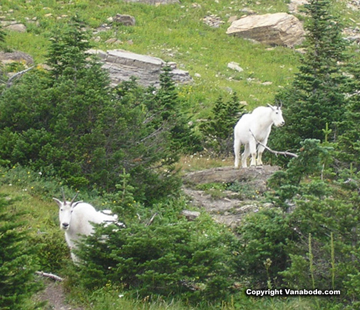 mountain goats in glacier national park picture