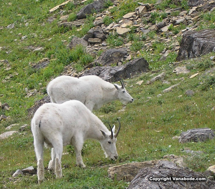 mountain goats glacier picture