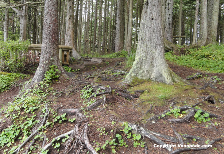 picture of forest walk to cape flattery washington