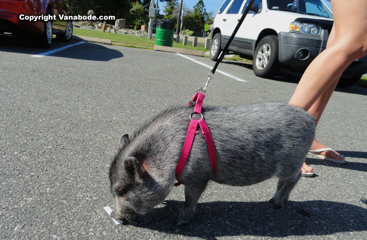 pig on pavement tip toes
