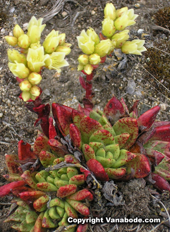 Picture of flowering succulent near Point Reyes Lighthouse