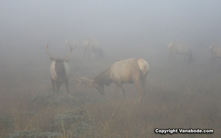 Picture taken during the early morning fog of the Tule Elk at Point Reyes
