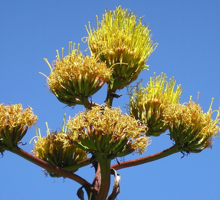 picture of agave in bloom at rancho santa ana botanic gardens california