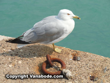 seagull and ship tie up ring in chicago