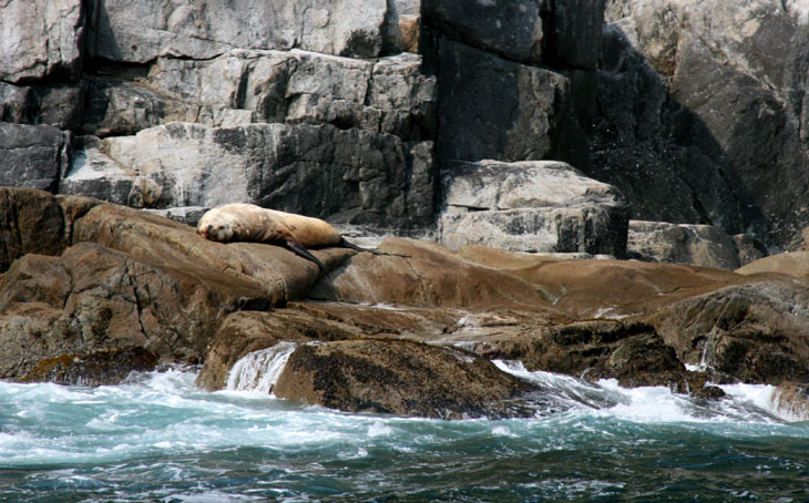 picture of stellar sea lion in kenai fjords national park alaska