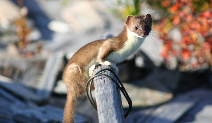 picture of weasel in the Bering Land Bridge National Preserve in Alaska