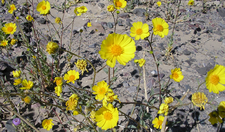 Death valley national park wildflowers death valley flower picture mightylinksfo